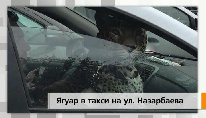 В Казани в машине такси перевозили ягуара
