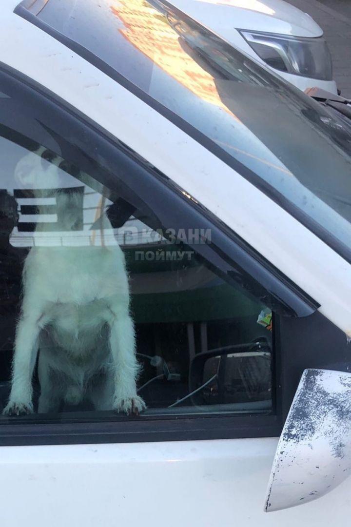 В Казани собаку оставили на жаре в закрытом авто