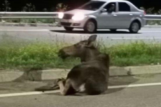 В Татарстане лосю оторвало ногу после наезда легкового авто