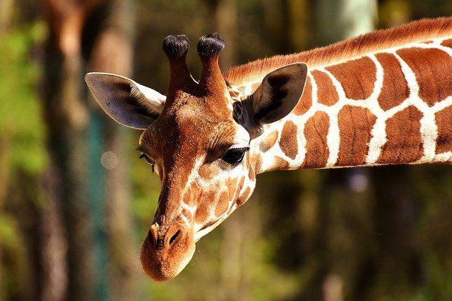 В ближайшее время в казанском зоопарке появится жираф